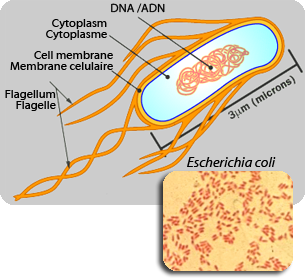 e coli escherichia coli essay Escherichia coli (e coli) are bacteria that live in human and animal intestines  shiga toxin-producing strains of e coli, or stecs, are responsible for most.