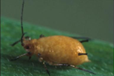 Les parasites en forme des graines